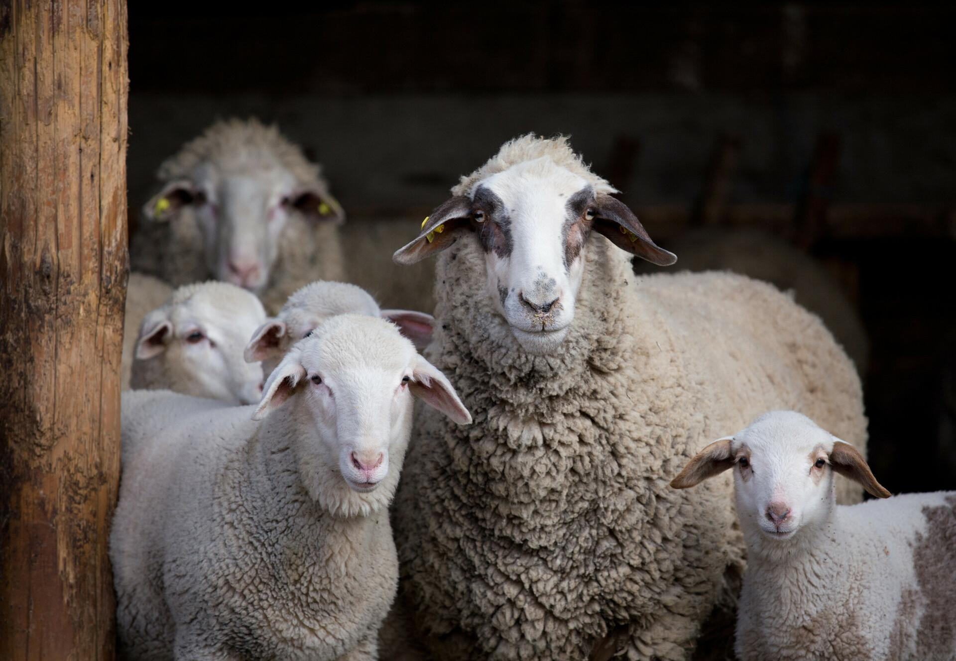 Sheep flock with lambs