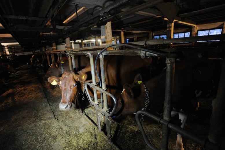 Rinder im Stall auf einem Bauernhof