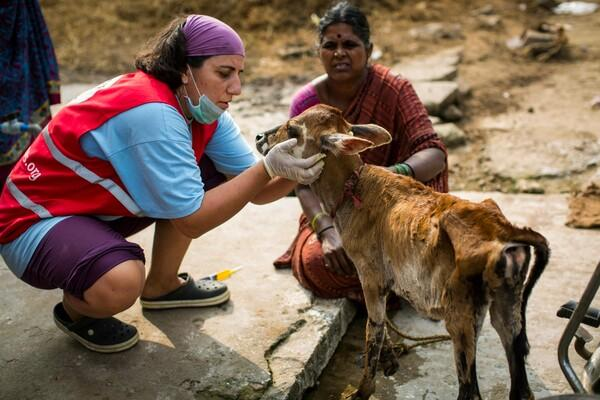 Helping a calf following the severe Chennai flooding in India