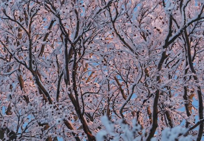 Farbenspiel in weiß und rosa auf schneebedeckten Ästen