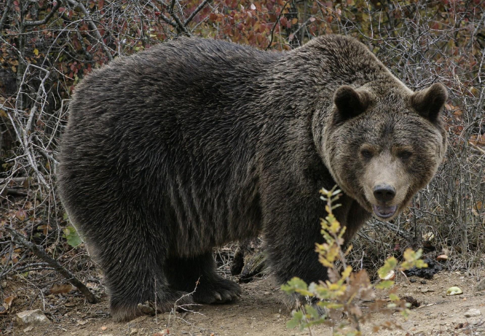Brown Bear Ari exploring the woods