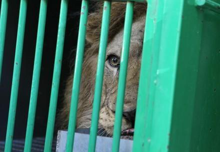 Lion looking out beyond cage