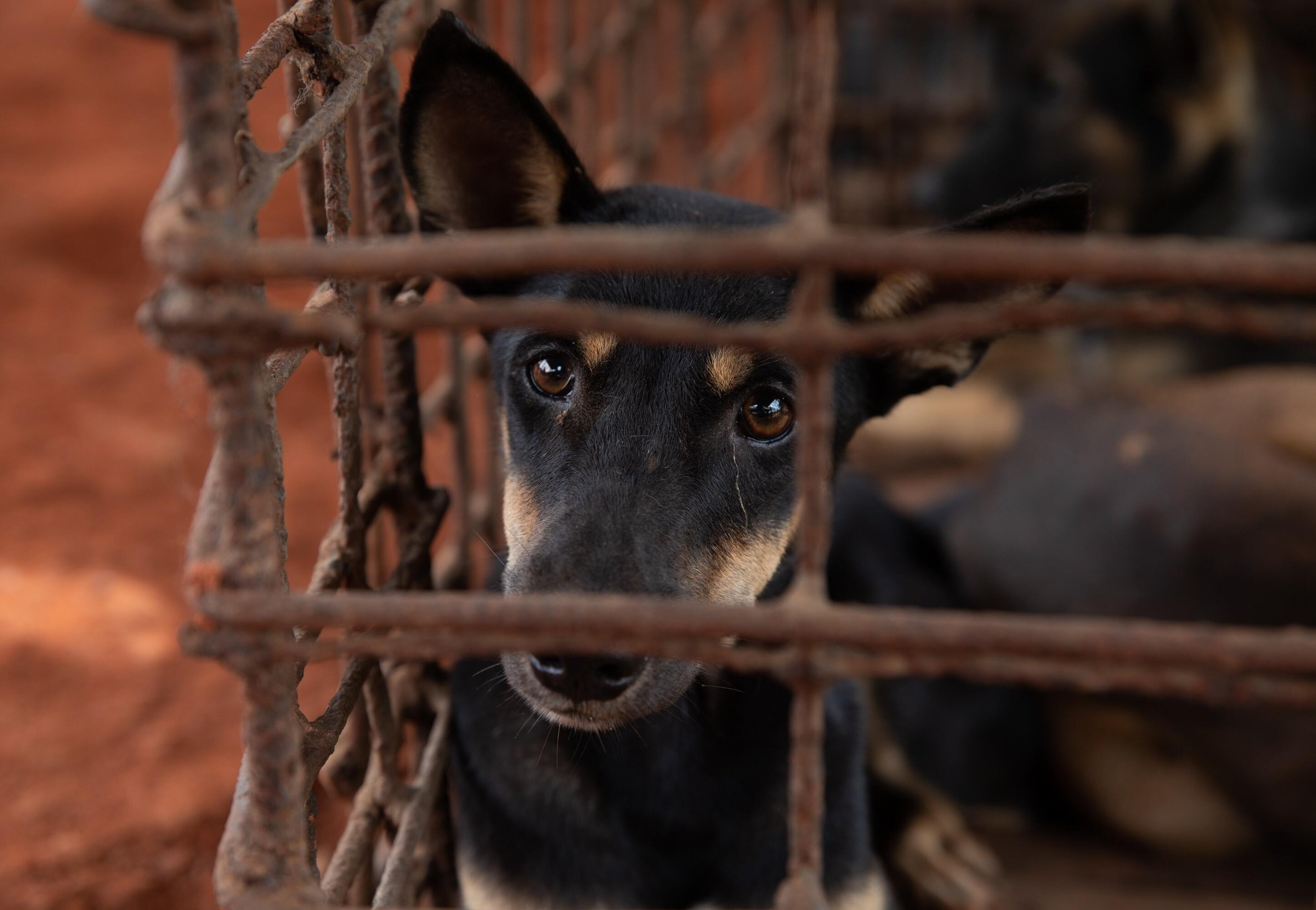 Hund im Schlachthaus in Kambodscha