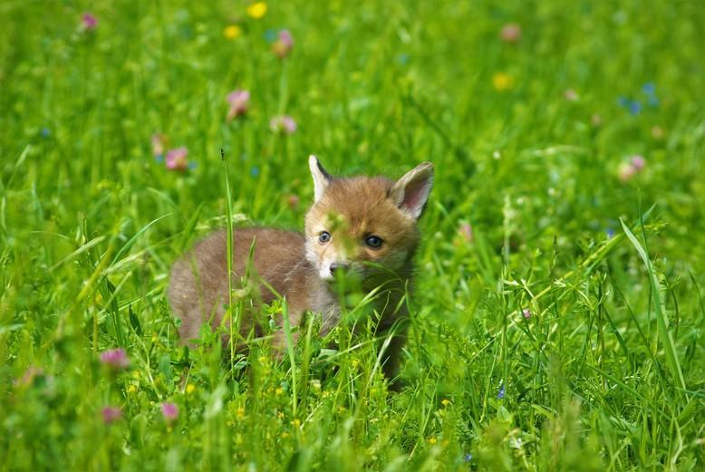 Fuchswelpe bei TIERART