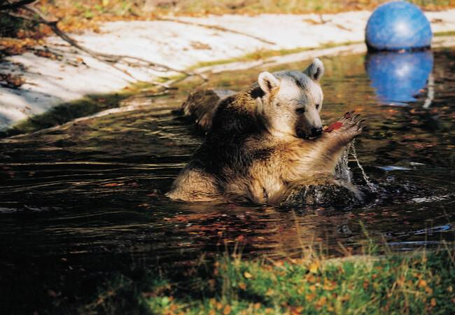 Cooling off at BEAR SANCTUARY Arbesbach
