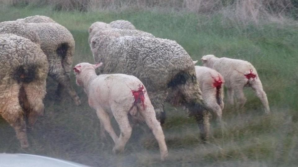 Muslesed lambs