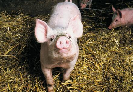 Schwein auf Heuboden