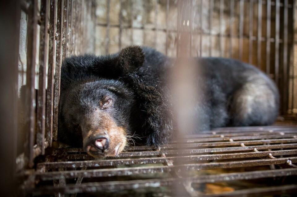 Gallebär in einem Käfig in Vietnam