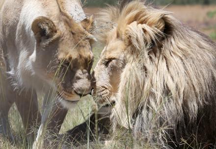 Zwei Löwen in der Natur