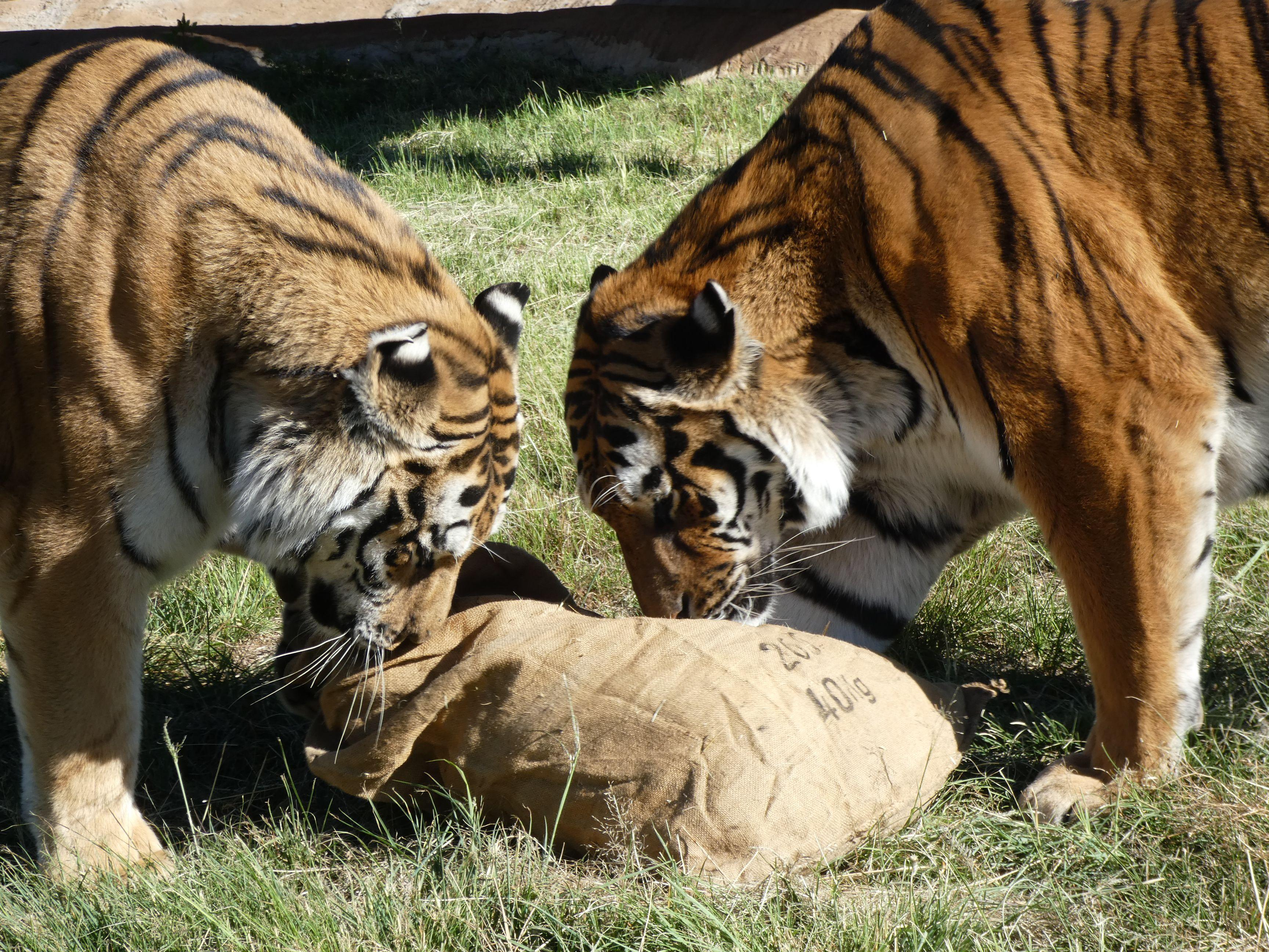 Tigers with enrichment