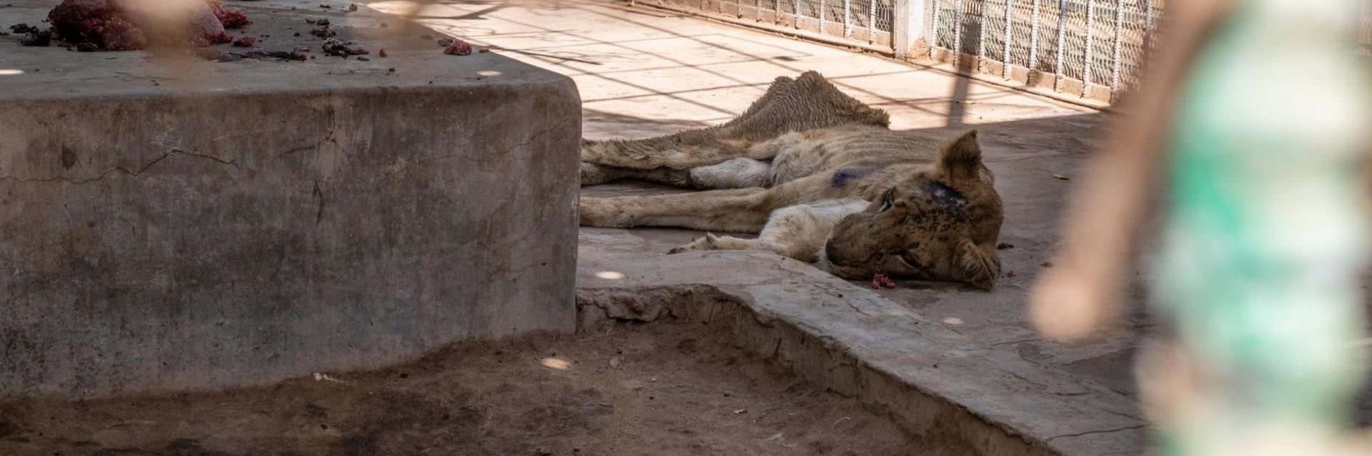 Des lions affamés