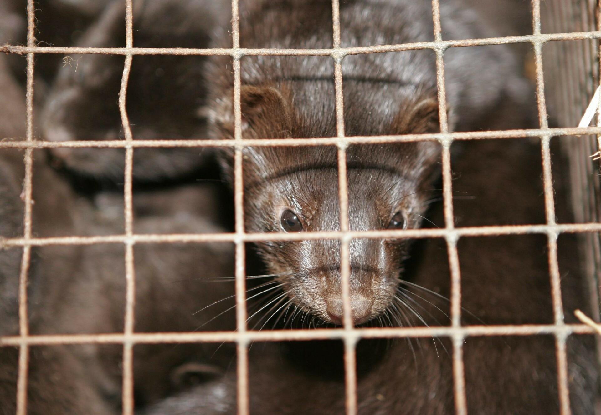 Mink at a fur farm