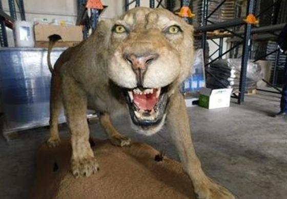 Opgezette leeuw Razgrad