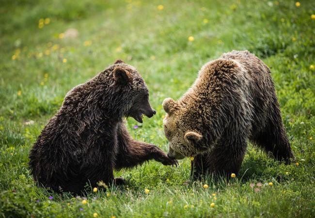 BearsJambolina and Meimo at Arosa Bear Sanctuary