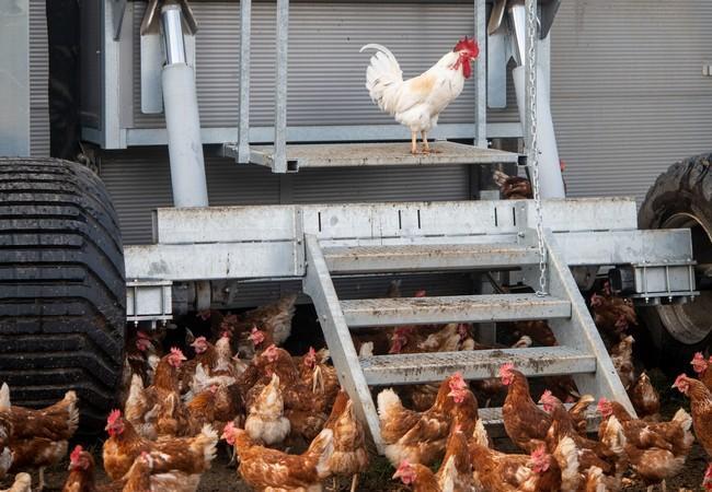 Der mobile Wanderhuhn-Stall wird regelmäig versetzt. Die Hühner sind dabei im Stall.