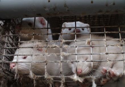 Wenn Tiere auf engstem Raum zusammengepfercht werden, entsteht die ideale Brutstätte für gefährliche Viren