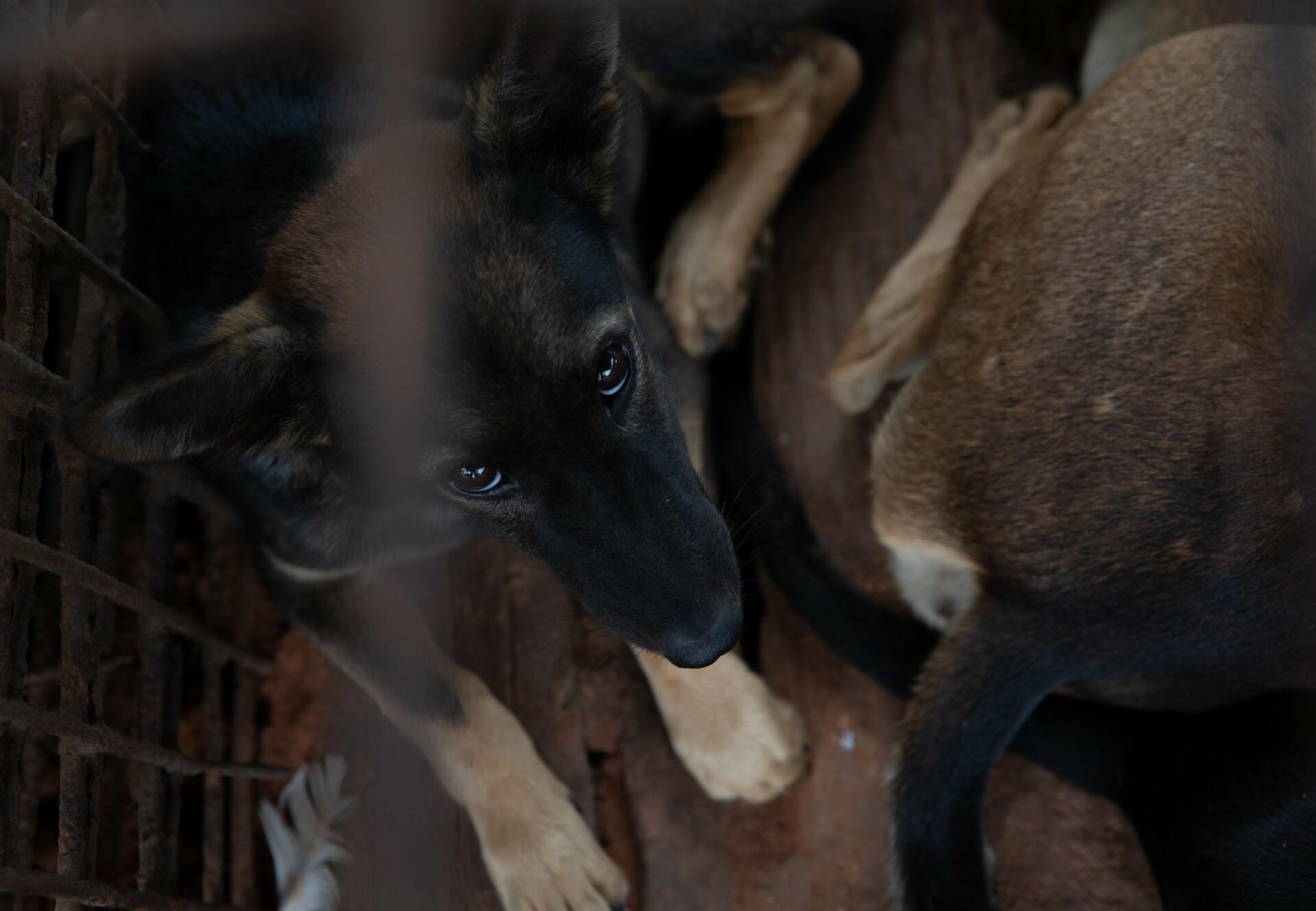 A dog slaughterhouse in Cambodia