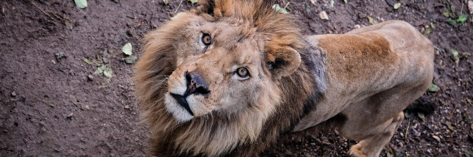 captive bred lion