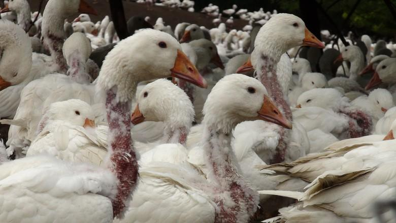 Geese plucked for down left raw