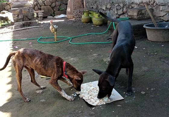 Feeding dogs in Bali