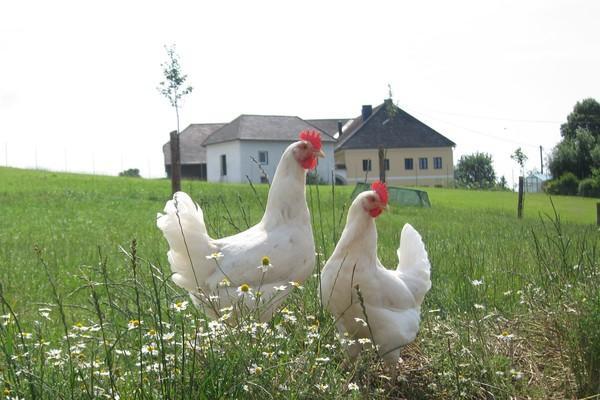 Hähne auf österreichischen Bauernhof