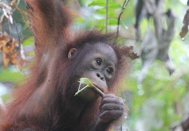 Orangutan Damai eating forest fruits