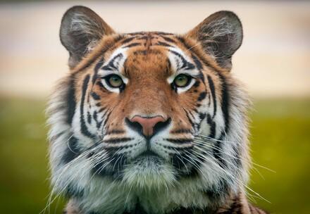 Tigress Cara