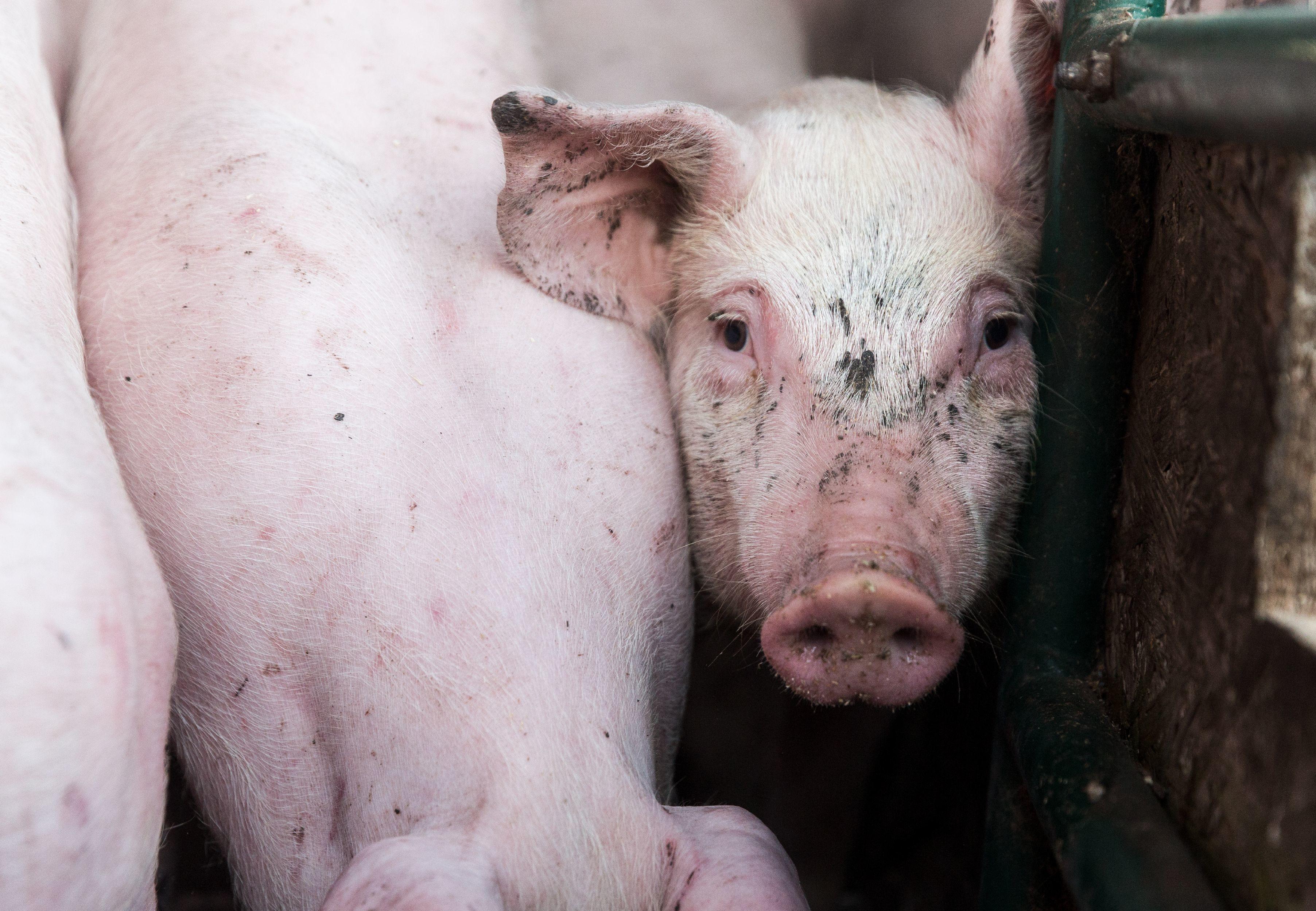 Junge Schweine sehen oft nie die Sonne.