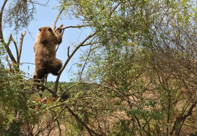 Rescued brown bear climbing tree at sanctuary