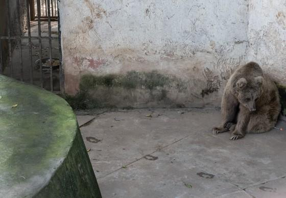 Bear in the corner in the Islamabad Zoo in Pakistan