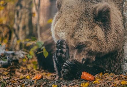 Bear Melanka