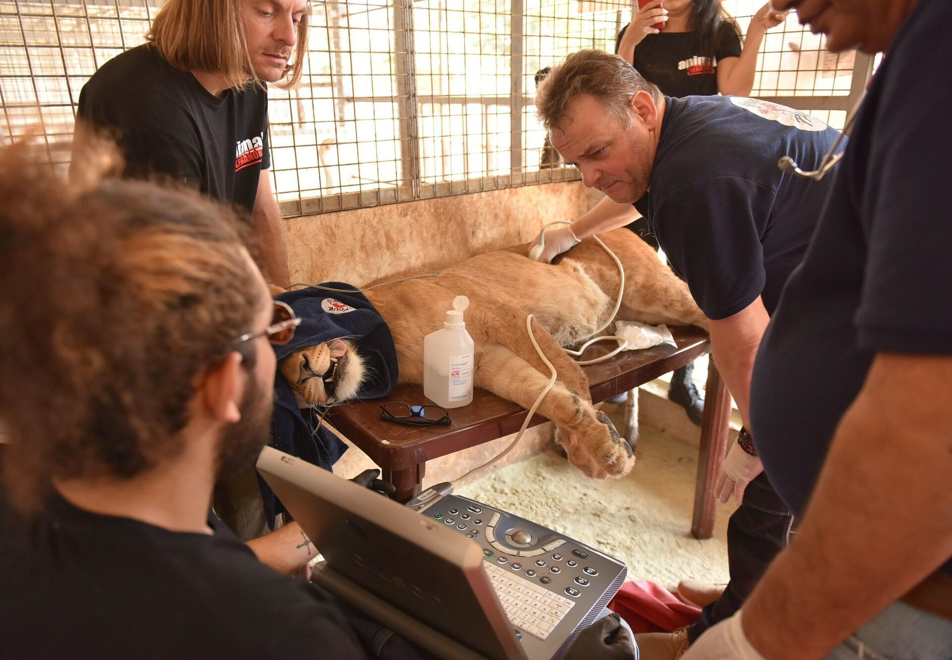 Veterinärmedizinische Untersuchung einer Löwin