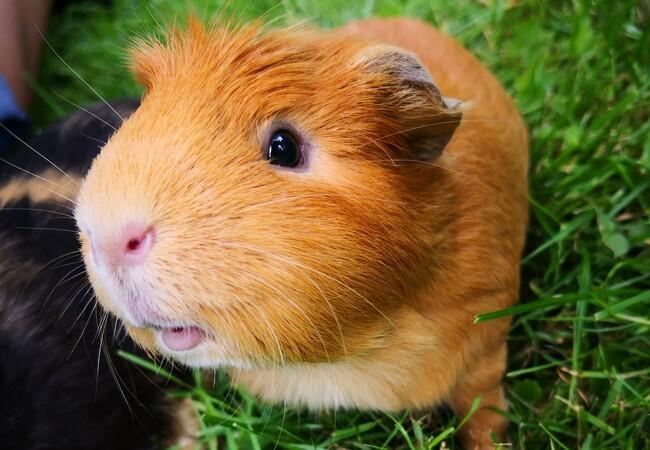 Cochon d'inde dans un jardin