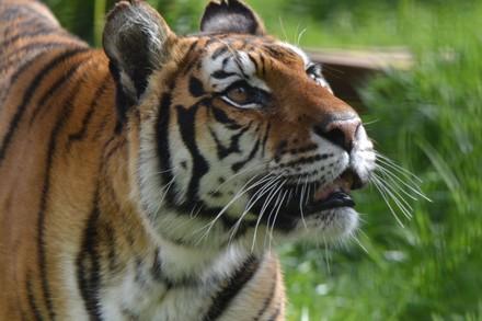 Tigress Dehli at FELIDA