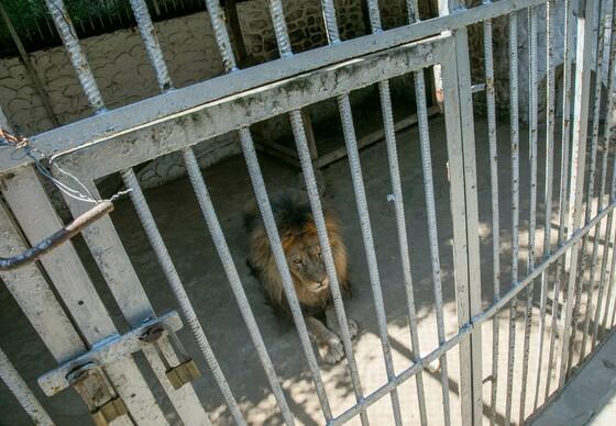Leeuw in Kyustendil Zoo