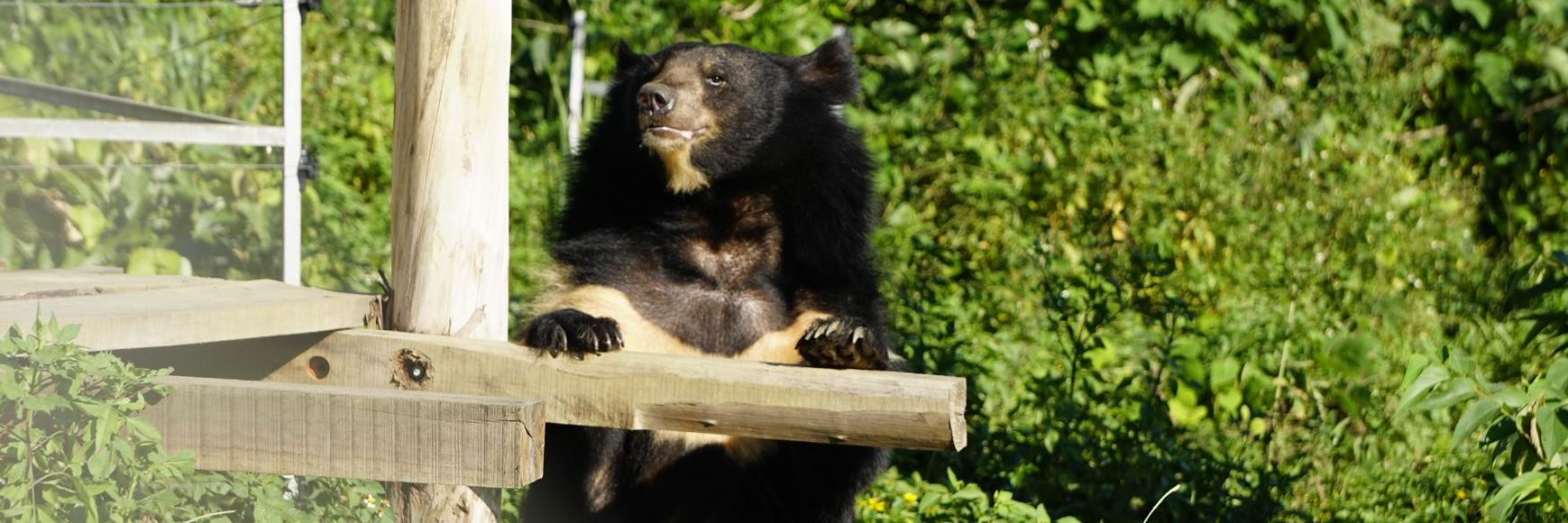Rescued bile bear happy at the sanctuary