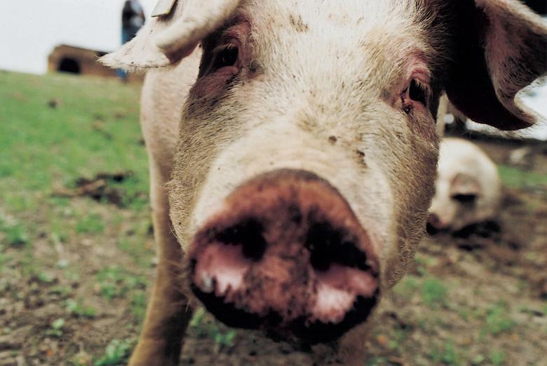 Le cochon est un animal hautement intelligent
