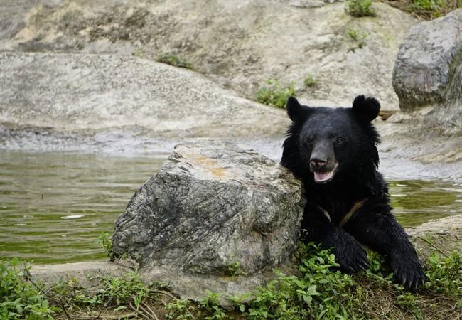 Bear Mui in the outdoor enclosure at BEAR SANCTUARY Ninh Binh