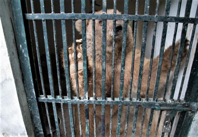 Un ours du zoo de Marghazar qui souffre en cage