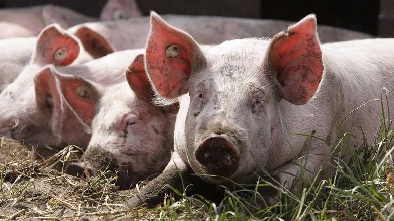 Freilandschweine in Deutschland
