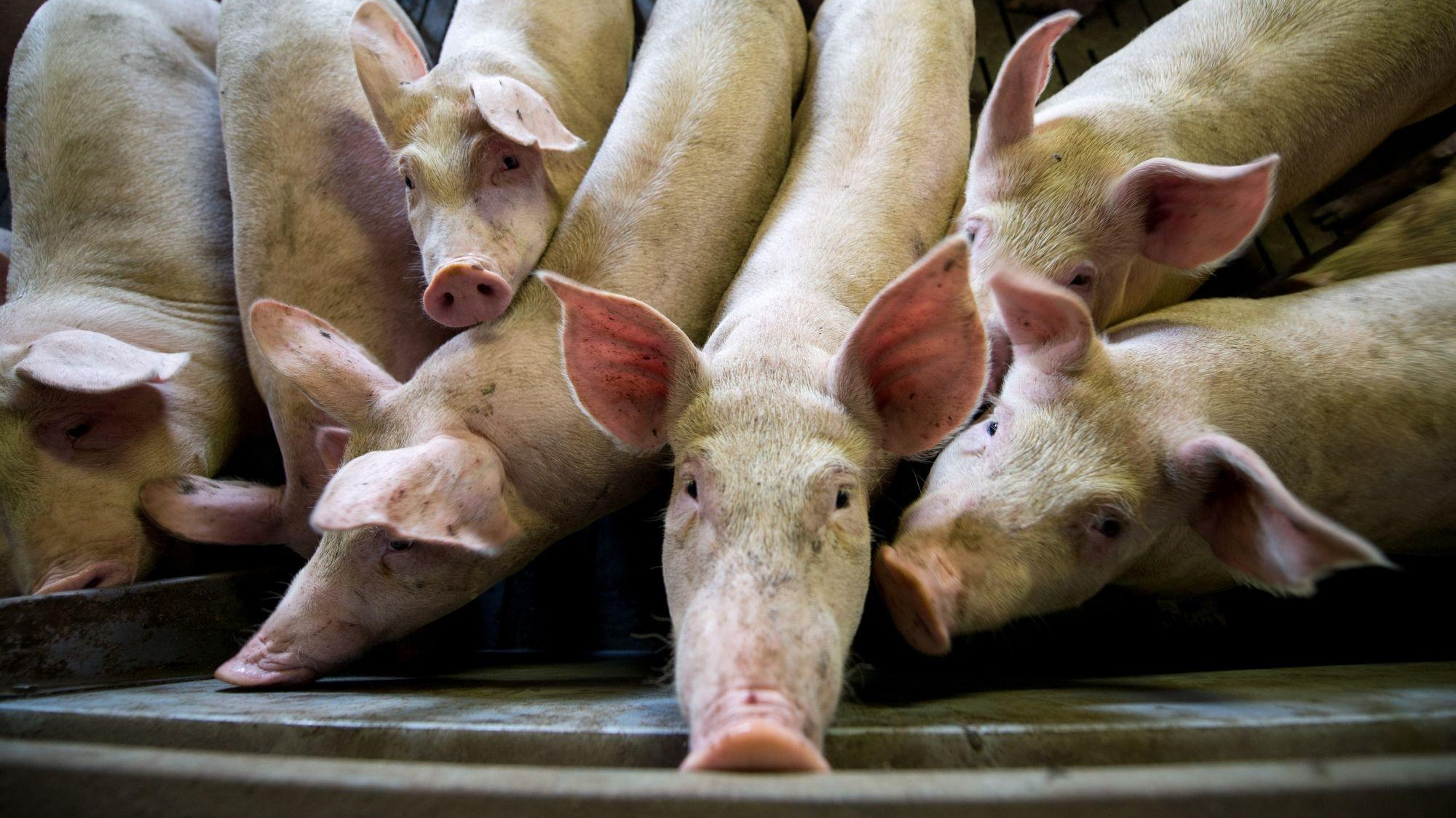 Schweine in der Intensivtierhaltung
