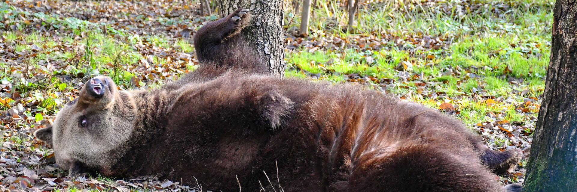 Bear at Müritz