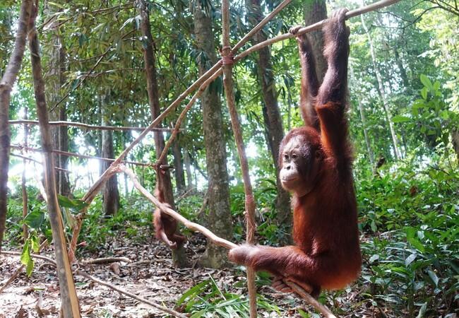 Orangutan Eska in the trees