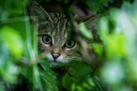 Wildkatze in TIERART