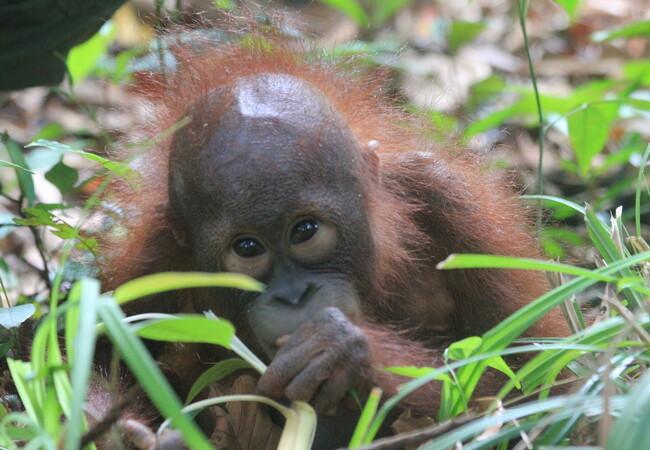 Orangutan orphan named Damai