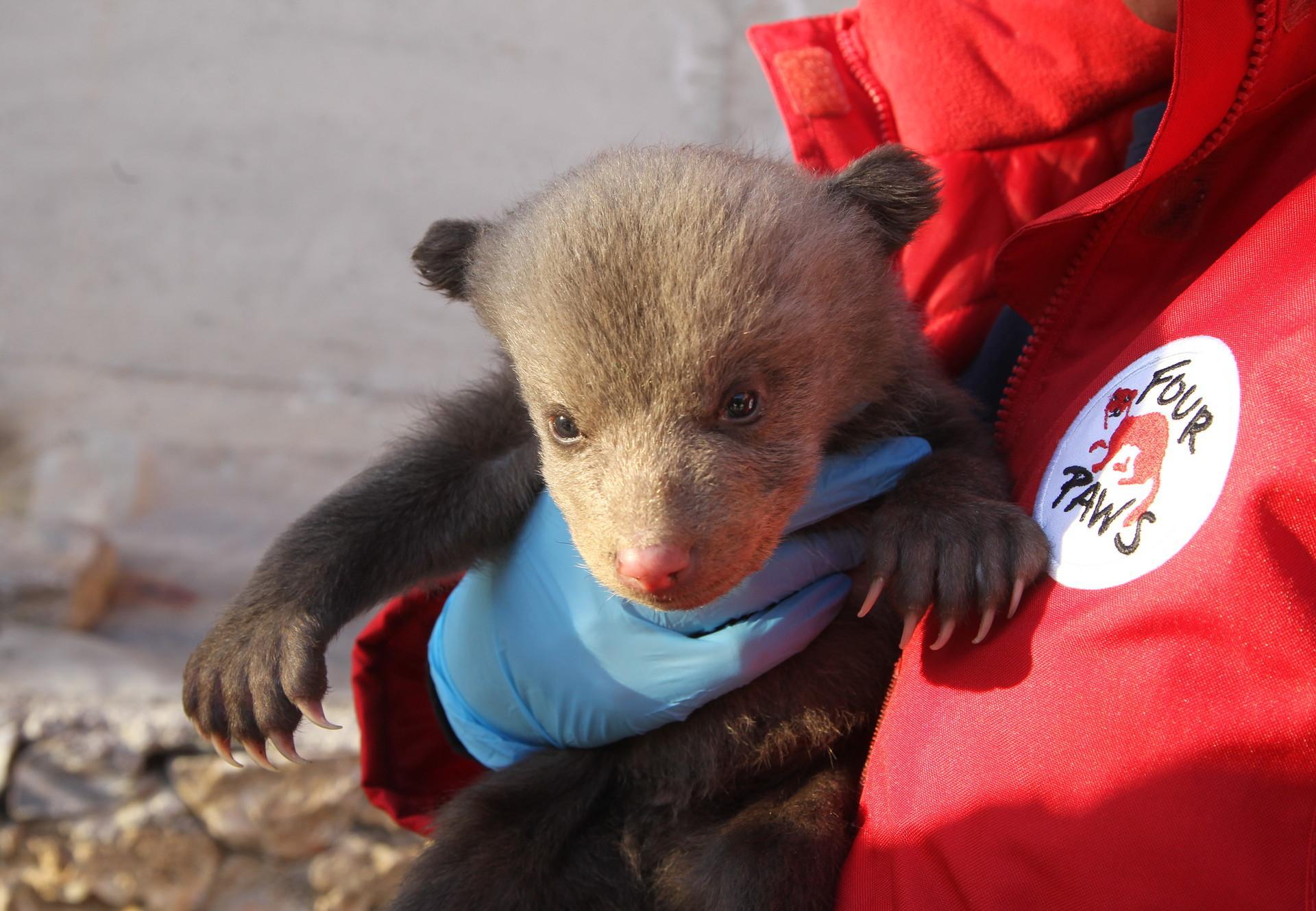 Bärenbaby wird auf der Strasse gefunden und gerettet