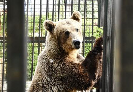 Bär Rocco in seinem Käfig vor der Rettung