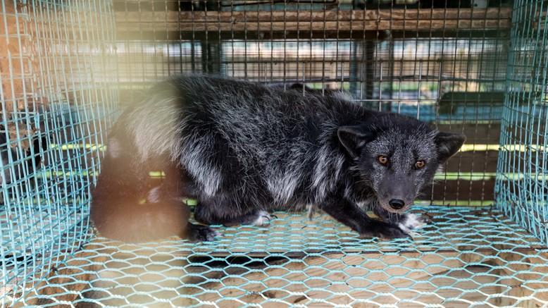Fox suffering in a fur farm in Finland