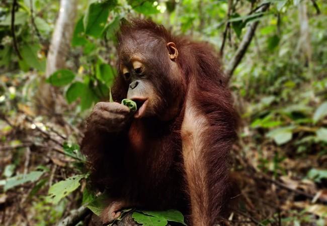 Orangutan Tegar at the Jejak Pulang FOREST SCHOOL