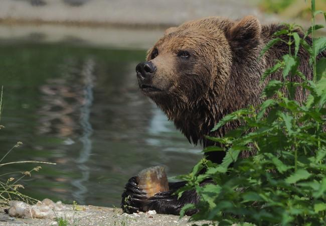 Braunbärin sitzt beim Teich und hält Eisblock mit Früchten in den Vorderpfoten